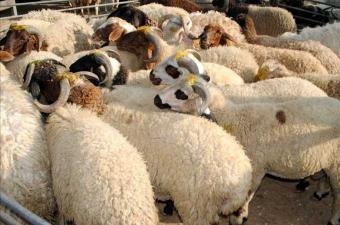 قطاع الماشية بسيدي بوزيد